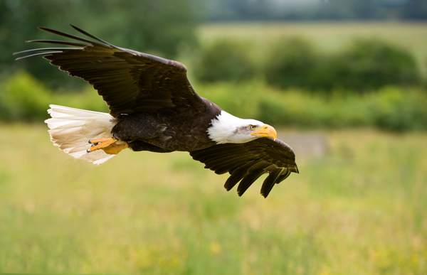 American Bald Eagle - Birds  -  Captive