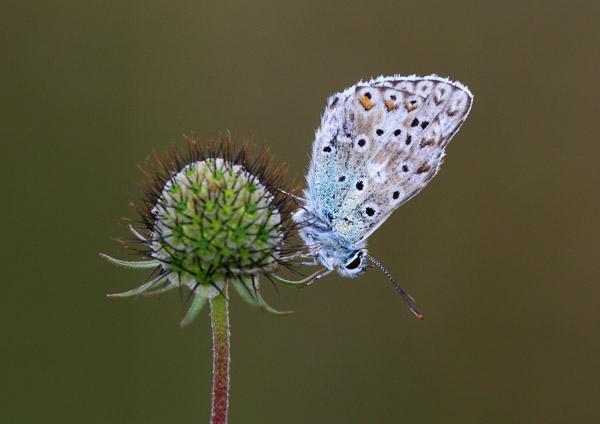 Chalkhill Blue - Close up