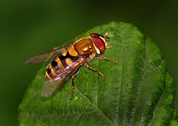 Hover Fly - Close up