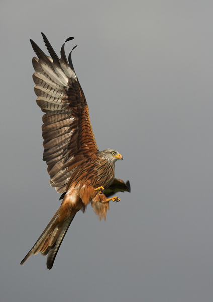 Red Kite - Birds - Wild