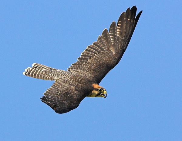 Lanner Falcon - Birds  -  Captive