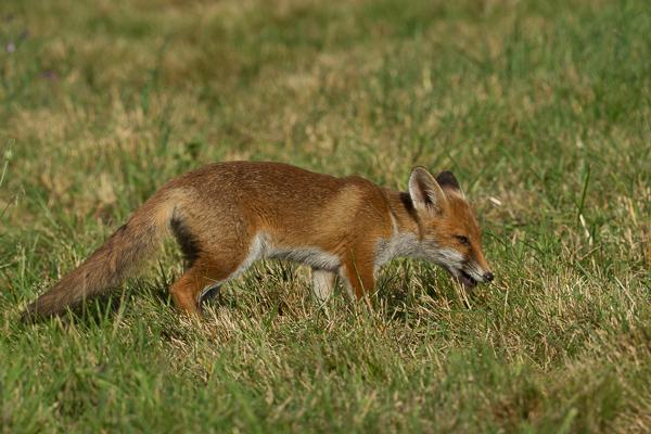 Fox - Nature & Animals