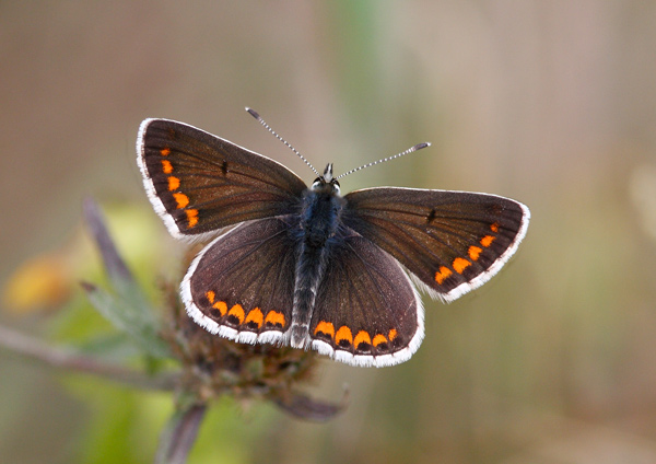 Brown Argus - Close up