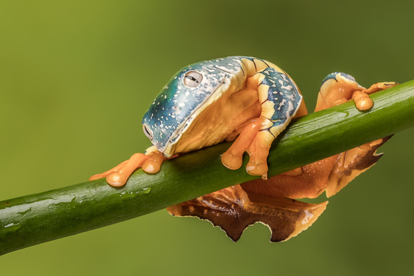 Fringed Leaf Frog - Close up