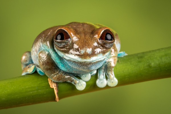 Ruby Eyed Tree Frog - Close up