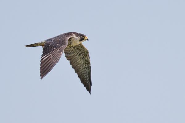 Peregrine Falcon - Florida 2011