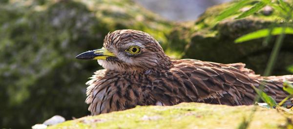 Stone Curlew - Birds  -  Captive