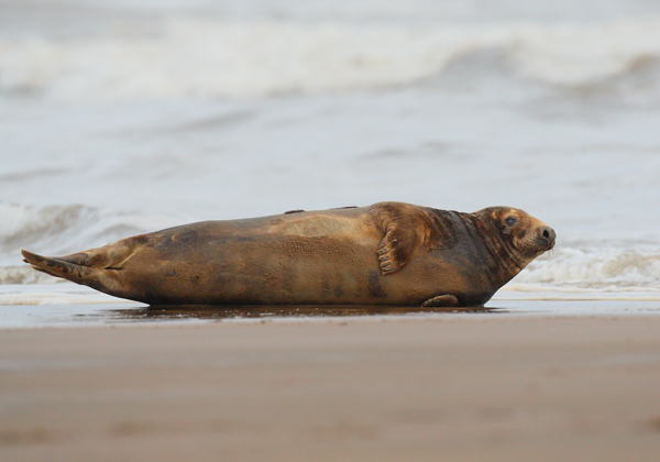Grey Seal - Nature & Animals