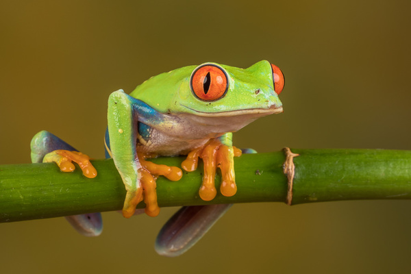 Red Eyed Tree Frog - Close up