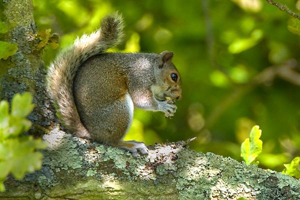 Grey Squirrel - Nature & Animals