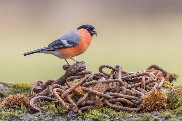 Bullfinch - Birds - Wild