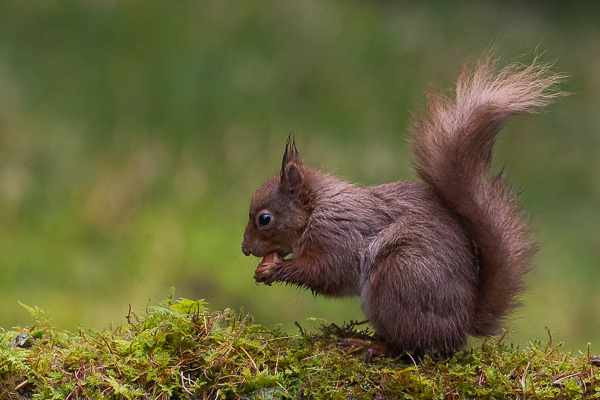 Red Squirrel - Nature & Animals