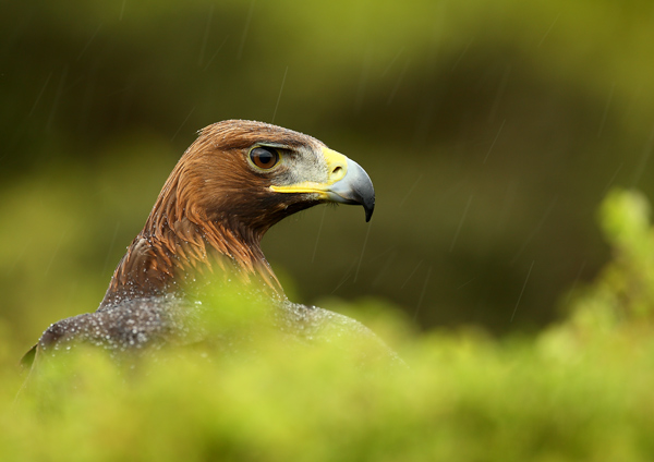 Golden Eagle - Birds  -  Captive