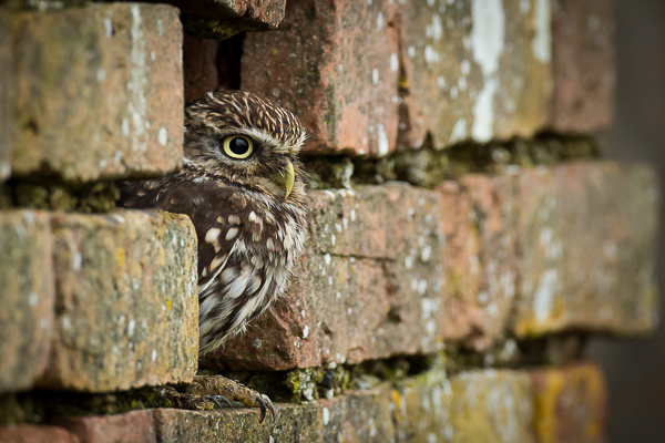 Little Owl - Birds  -  Captive