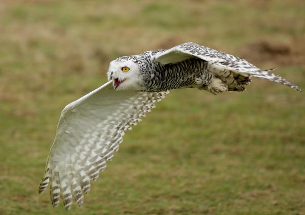 Snowy Owl - Birds  -  Captive