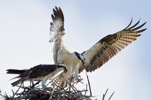 Ospreys - Florida 2011