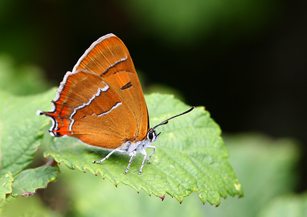 Brown Hairstreak - Close up