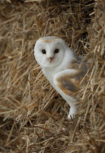 Barn Owl - Birds  -  Captive