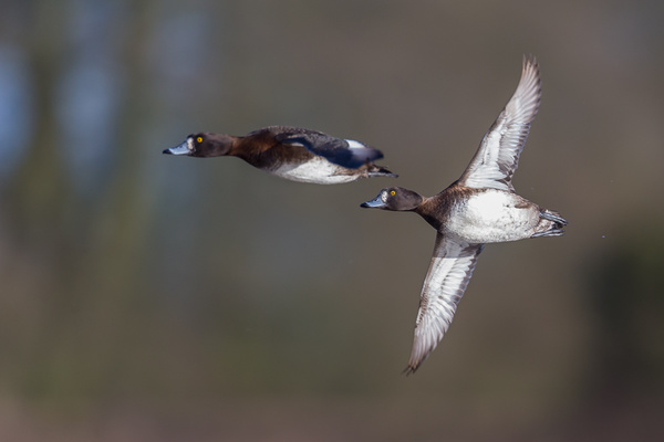 Tufted Ducks - Birds - Wild