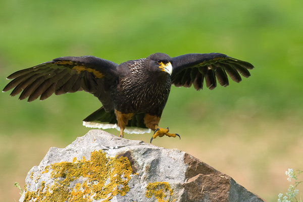 Caracara 2 - Birds  -  Captive