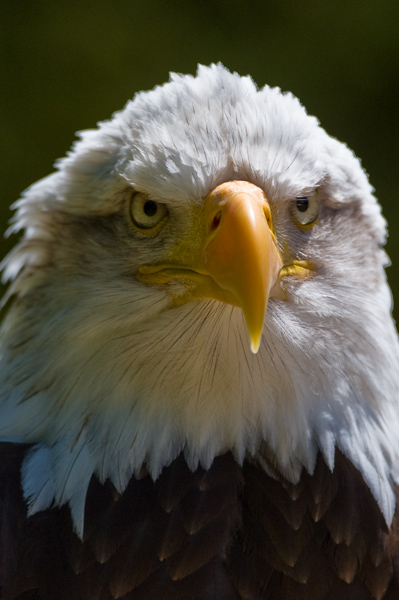 American Bald Eagle - Birds  -  Captive