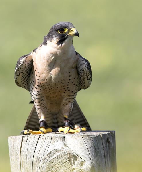 Peregrine   falcon - Birds  -  Captive