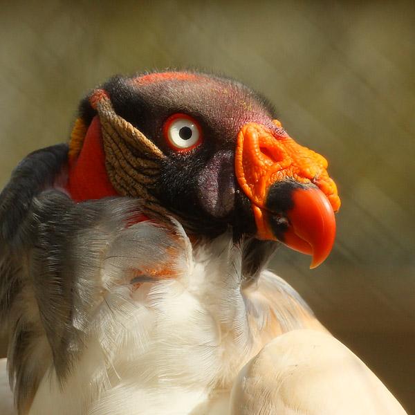Colorful Vulture - Birds  -  Captive