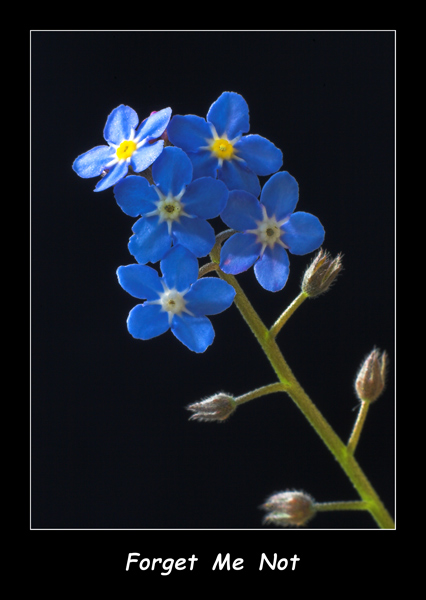 Forget  Me  Not - Nature & Animals