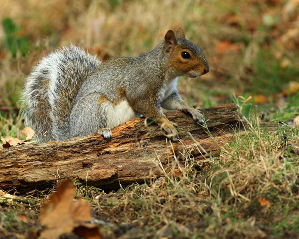 Grey Squirrel - Nature & Animals