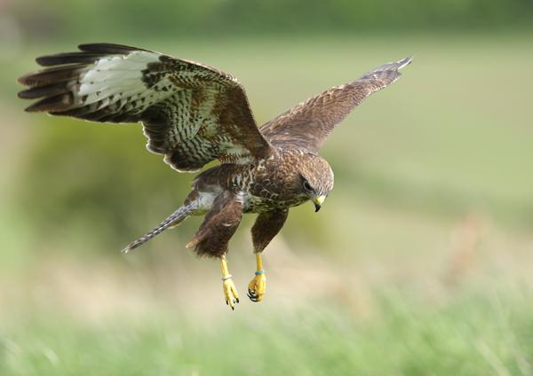 Common Buzzard - Birds  -  Captive