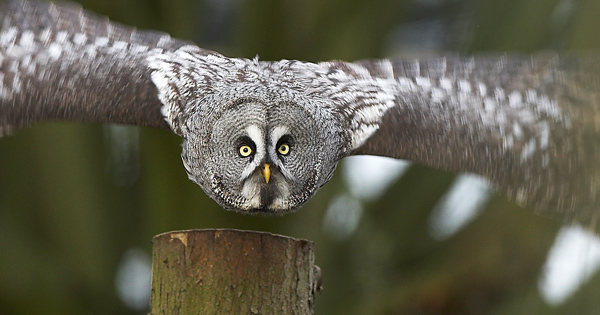 Great Grey Owl - Birds  -  Captive