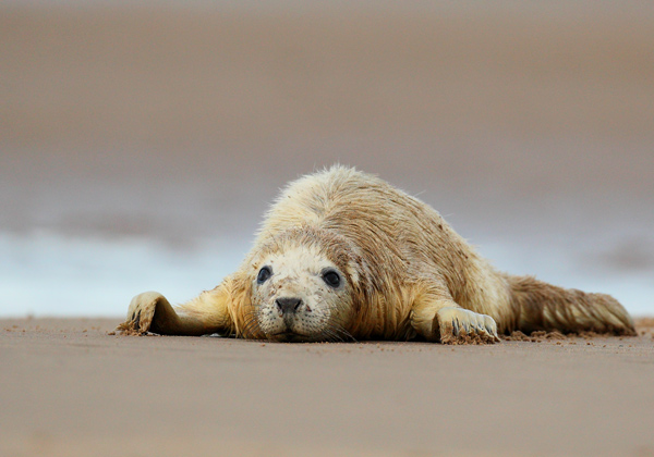 Seal Pup - Nature & Animals