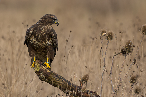 Common Buzzard - Birds  -  Captive