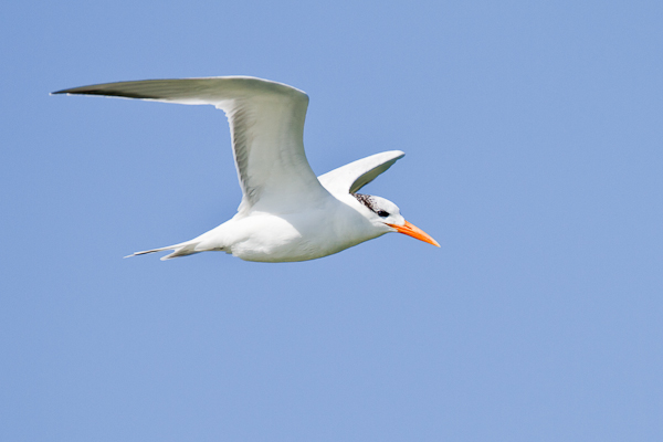 Royal Tern - Florida 2011