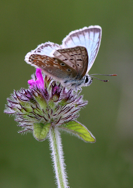 Chalkhill Blue - Close up