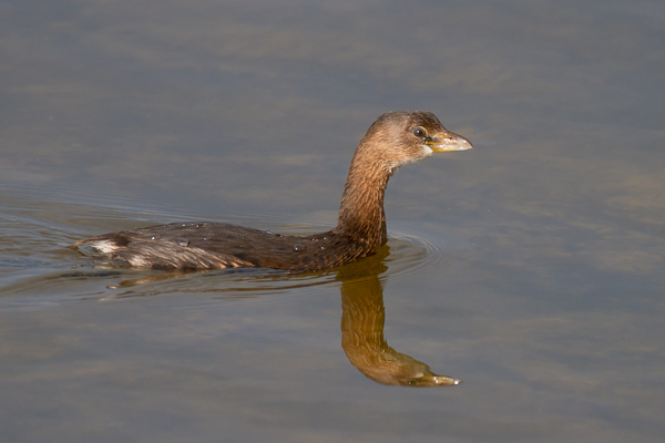 Pied Billed Grebe - Florida 2011