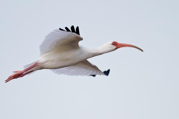 White Ibis - Florida 2011