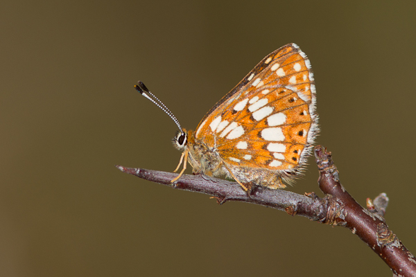 Duke of Burgundy - Close up