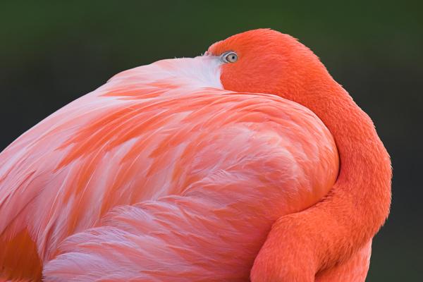 Flamingo - Birds  -  Captive
