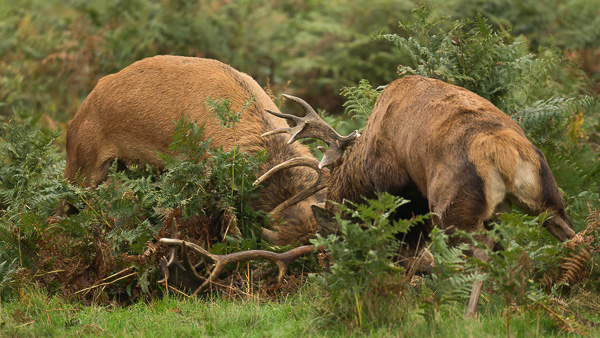 Red Deer - Nature & Animals