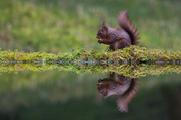 Squirrel Reflection - Nature & Animals