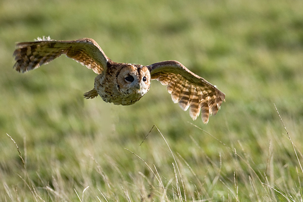 Tawny Owl - Birds  -  Captive