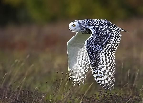 Snowy Owl - Birds  -  Captive