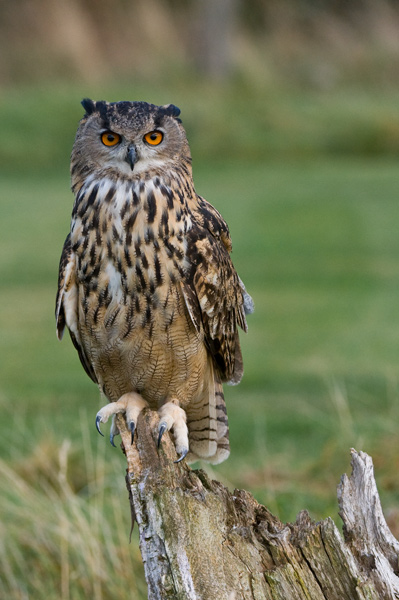 Eagle Owl - Birds  -  Captive