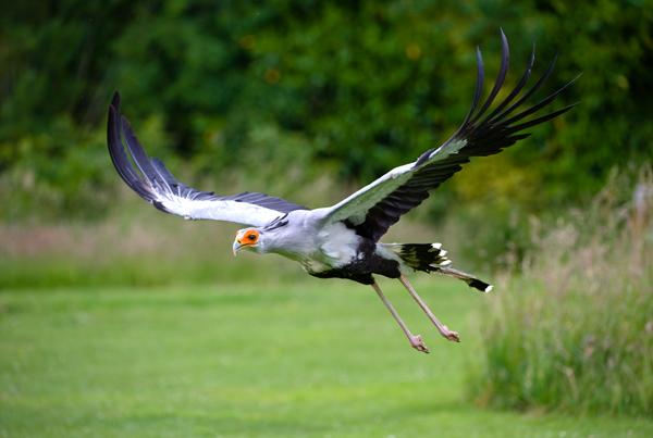 Secretary Bird - Birds  -  Captive