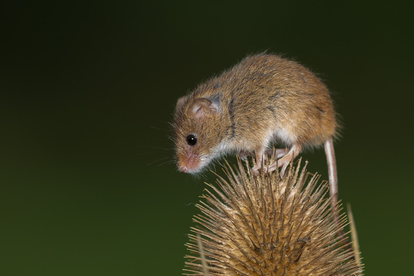 Harvest Mouse - Nature & Animals