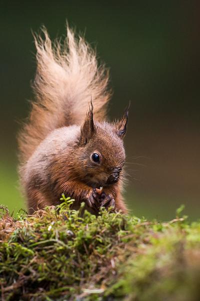 Red Squirrel - Nature & Animals