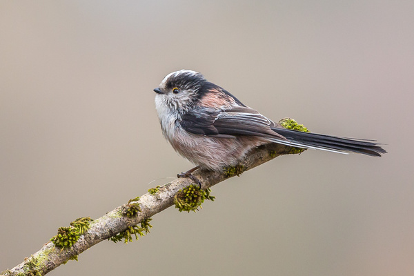 Long-tailed Tit - Birds - Wild