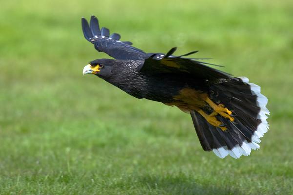 Caracara - Birds  -  Captive