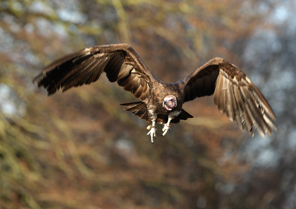 Hooded Vulture - Birds  -  Captive